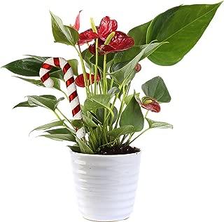 Costa Farms Live Anthurium Indoor Plant in Premium Ceramic, 12