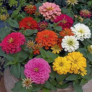 Zinnia Flower Garden Seeds - Magellan Series - Mix - 100 Seeds - Annual Flower Gardening Seed