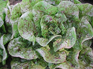 Organic Speckles Butterhead Lettuce Bibb Like 50+ Seeds Amish Heirloom Non-GMO