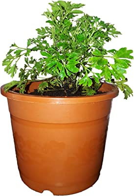 Rising Nisarga Aralia Plant In Brown 5 Inch Pot