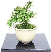 清香園 手のひらサイズでかわいらしく飾れる香丁木の盆栽