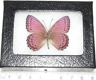 Bicbugs, LLC Real Framed Butterfly Pink Purple SALLYA CRENIS PECHUELI Africa