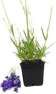 Findlavender - Lavender Angustifolia MUNSTEAD (Dark Purple Flowers) - 4