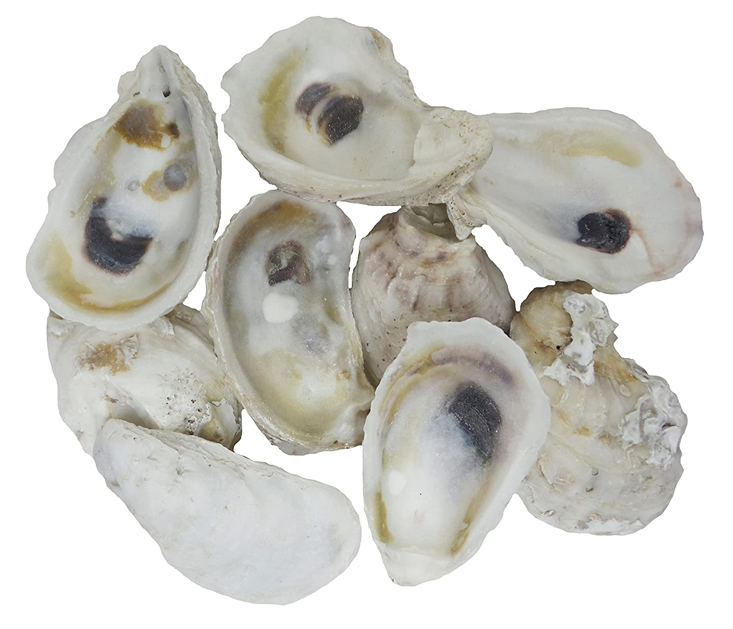 U.S. Shell 05114 Oyster Shells, 2 to 3 inches, 2
