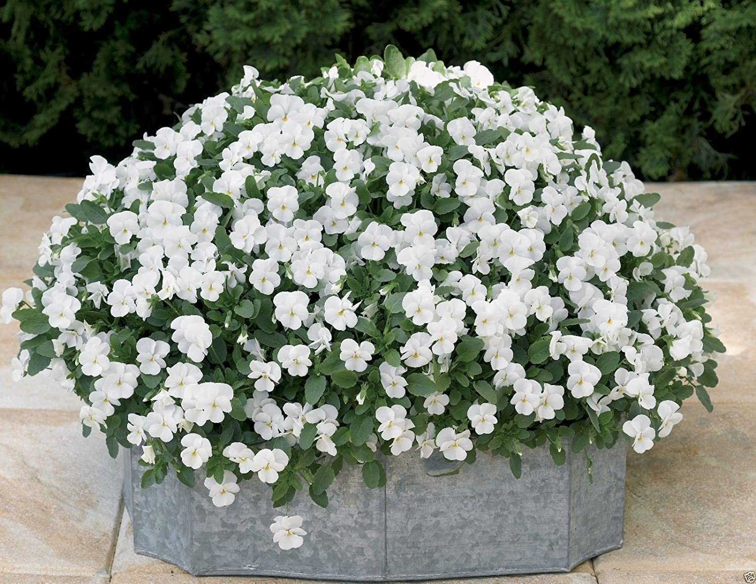 Viola Cornuta - White Perfection Fl Basket Outlet ☆ Free Shipping Garden Hanging Bed Max 64% OFF