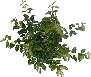 Shrub Pungens Elaeagnus, 2.25 Gal, Green-Silver Foliage with Creamy White Blooms