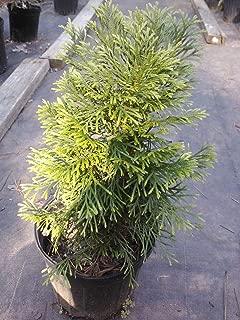 (1 Gallon) Dwarf Emerald Green Arborvitae, Compact Evergreen, Great for Colder Zones, Hydrangeas Shrub, Evergreens, Gardenia
