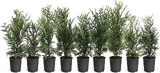 Thuja Plicata 'Green Giant' Arborvitae - 9 Live Quart Size Plants - Evergreen Privacy Tree