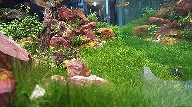 Dwarf Hairgrass + Free See Description, Live Aquarium Plants