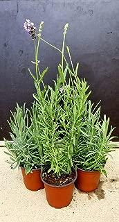 bulk lavender plants