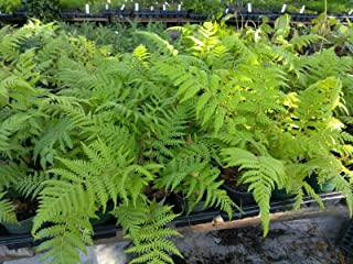 tree fern cyathea australis