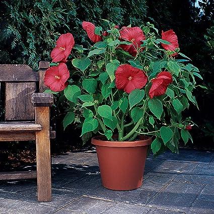Hibiscus Luna Mix  20 seeds