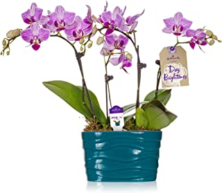 Orchid Flower Plant, Pink in 4-Inch Turquoise Ceramic Container, From Hallmark Flowers