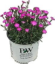 magenta flowering plants