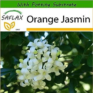 SAFLAX - Orange Jasmin - 12 Seeds - with Soil - Murraya paniculata syn. Exotica