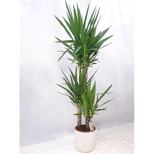Palmen Zimmerpflanzen: Amazon.de