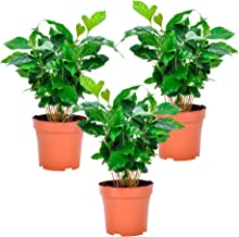 3x Coffea Arabica Nana | Koffieplant | Set van 3 | Hoogte 25-30cm | Pot - Ø12cm