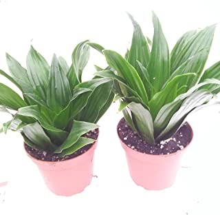 janet craig plant flower