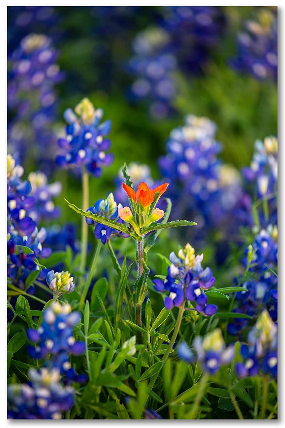 Max 45% OFF SouthernPlainsPhoto Indian Paintbrush Surrounded by W Bluebonnet Direct stock discount