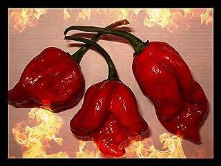 Trinidad Scorpion Butch T 20 Samen >Viel schärfer als Bhut Jolokia 1.500.000 Scoville