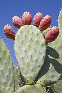 3 Spineless Thornless Edible Organic Prickly Pear Cactus Pads, Opuntia Ellisia CTG