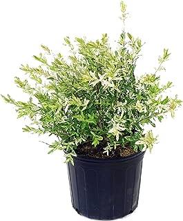 Best dappled willow hakuro nishiki shrub Reviews