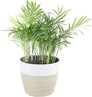 Costa Farms Neanthe Bella Parlor Palm, Live Indoor Plant, 14 to 16-Inches Tall, Ships in..