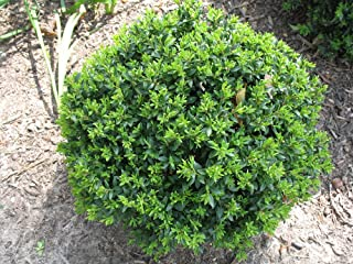 (1 Gallon) Korean Boxwood Wintergreen,Makes an Excellent Hedge, Remains Green Year-Round, Compact, mounded Shrub, Very Cold Hardy