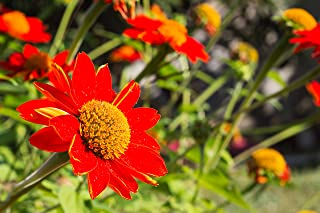 Sweet Yards Seed Co. Mexican Sunflower Seeds – Extra Large Packet – Over 2,500 Open Pollinated Non-GMO Wildflower Seeds – ...