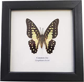 Real Framed Common Jay Butterfly