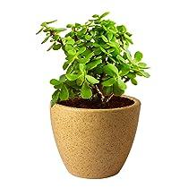 Plants Villa Live Jade Air Purifier Succulent Plant With Pot – Good Luck Plant