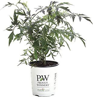 Black Lace Elderberry (Sambucus) Live Shrub, Pink Flowers, 4.5 in. Quart