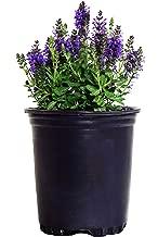 Salvia nemerosa 'Marcus' (Meadow Sage) Perennial, purple flowers, 1 - Size Container