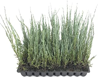Blue Arrow Juniper - 3 Live Trees - Juniperus Scopulorum - Formal Evergreen Privacy Screen