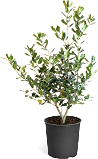 Nellie Stevens Holly Trees- Dense Evergreen Privacy Trees with Advanced Root Systems, not Seeds or saplings- Large, Tall Holly Trees - 2-3 ft.   Cannot Ship to AZ