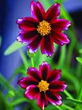 Perennial Farm Marketplace Coreopsis x 'Mercury Rising' ((Big Bang Tickseed) Perennial, Size-#1 Container, Burgundy-Red Petals with a Yellow Center