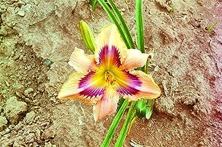 Paper Butterfly Daylily 5 Bareroot Hemerocallis 1-2 Fans Spring Planting