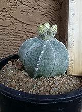 Astrophytum myriostigma Bishop's Cap Cactus, Live Cactus ships Bare Root