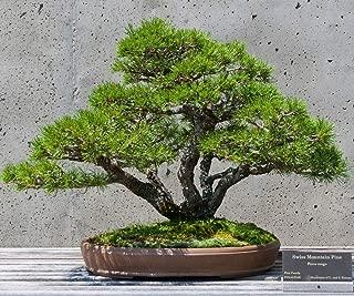 CROSO Germination Seeds ONLY NOT Plants: 10 Semi/Seeds : Pinus Mugo Pumilio Nano 10 Semi - Pine Seeds Pre Bonsai + Guida