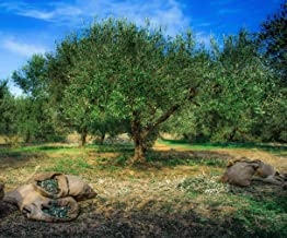 Olive Tree Field Photography Backdrop Fresh Olives in Sacks Natural Farm Scene Photo Background for Studio 10x8 ft