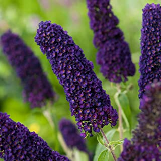 Butterfly Bush (Dark Purple) Aka Buddleia 'Black Knight' Live Plant Fit 01 Gallon Pot