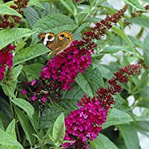 Buddleia x Miss Molly Butterfly Bush - Sangria Red -Proven Winners- 4