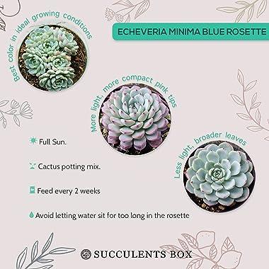 Echeveria Minima Echeveria Succulent (2 inch)