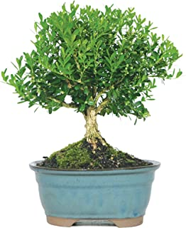 Brussel's Live Harland Boxwood Outdoor Bonsai Tree - 3 Years Old; 6