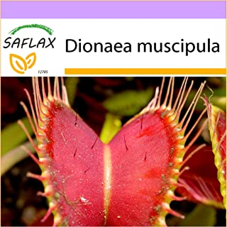 SAFLAX - Venus atrapamoscas - 10 semillas - Dionaea muscipula