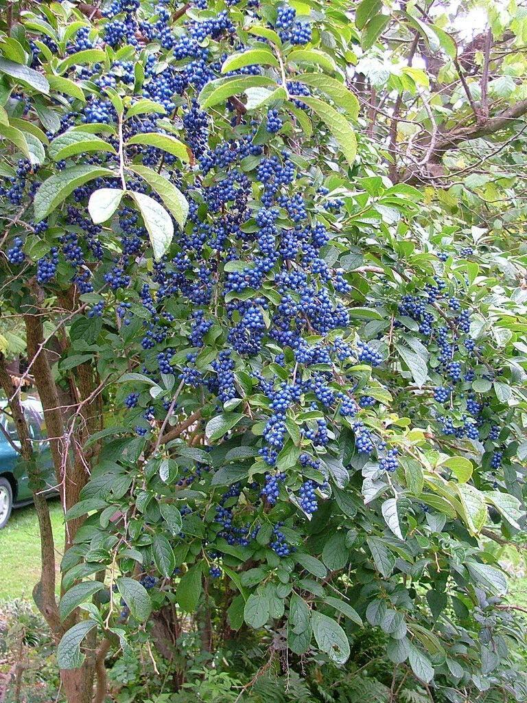 Fresh Seeds - Sapphire Berry 100 Symplocos Max 60% OFF paniculata Shrub Se Popular brand
