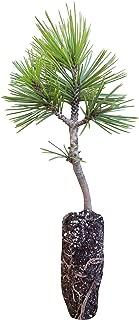Best bosnian pine tree Reviews