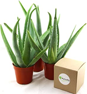Shop Succulents | Alluring Aloe Collection of Live Aloe Plants, Hand Selected Variety Pack of Aloe Plants, | Collection of 3 in 4