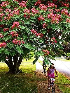 10pcs/Bag Albizia Julibrissin Tree Seeds(Mimosa/Persian Silk Tree)-Tree Potted bonsaiDIY Home gardenbig Promotion