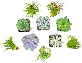 Succulent Air Plant Combo Pack   5 Succulents and 5 Airplants   Real Live Home Decor House Gift   Indoor Mix Pack   Rooted in Pots by Plants for Pets